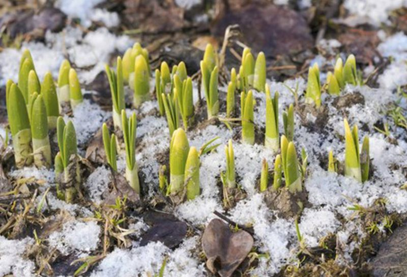 early spring flower growth, flowers in snow