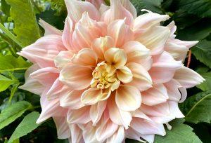 dahlia, breakout variety, peach, large bloom