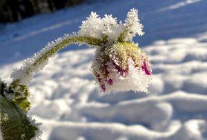 dahlia in snow
