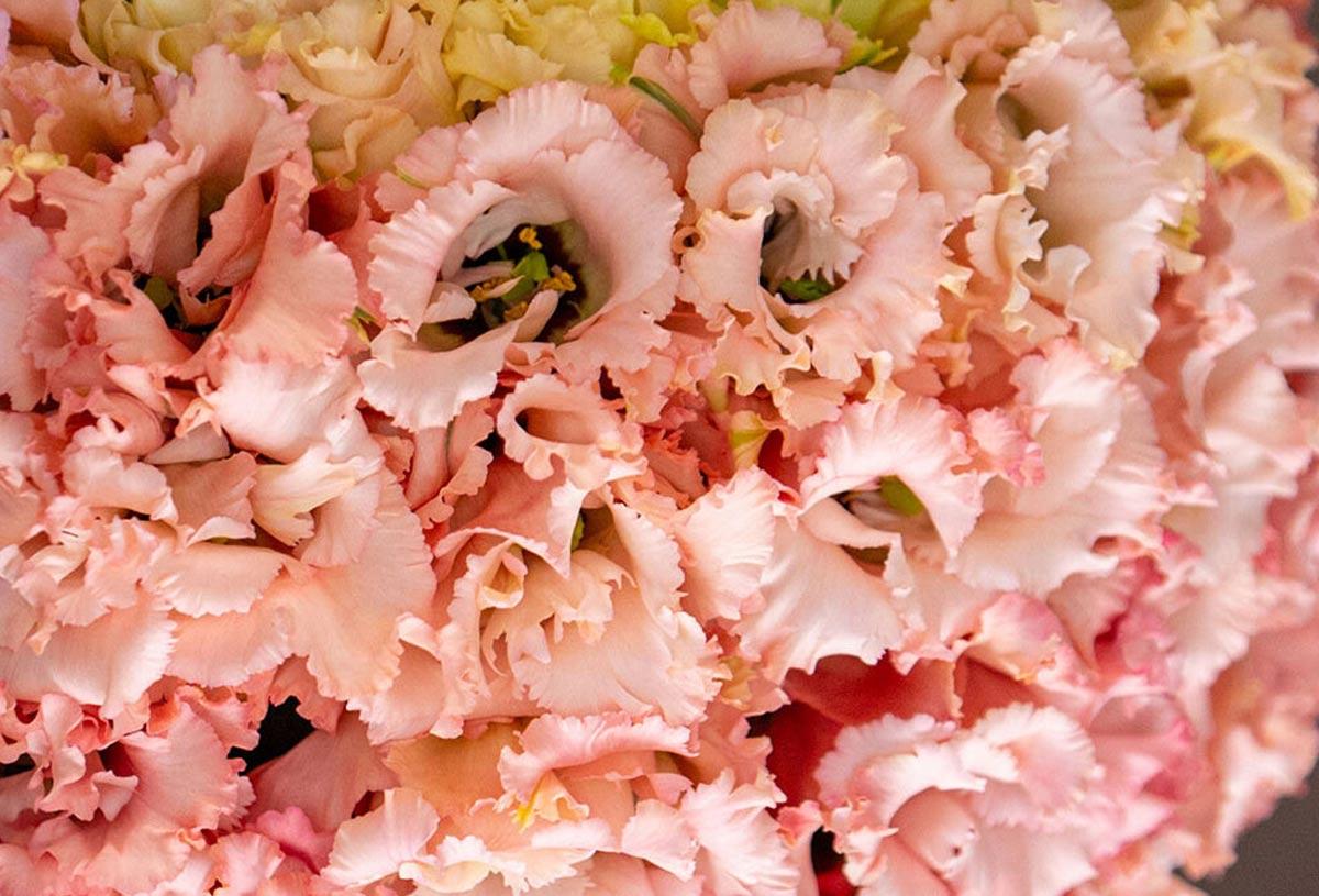 lisianthus bloom, peach