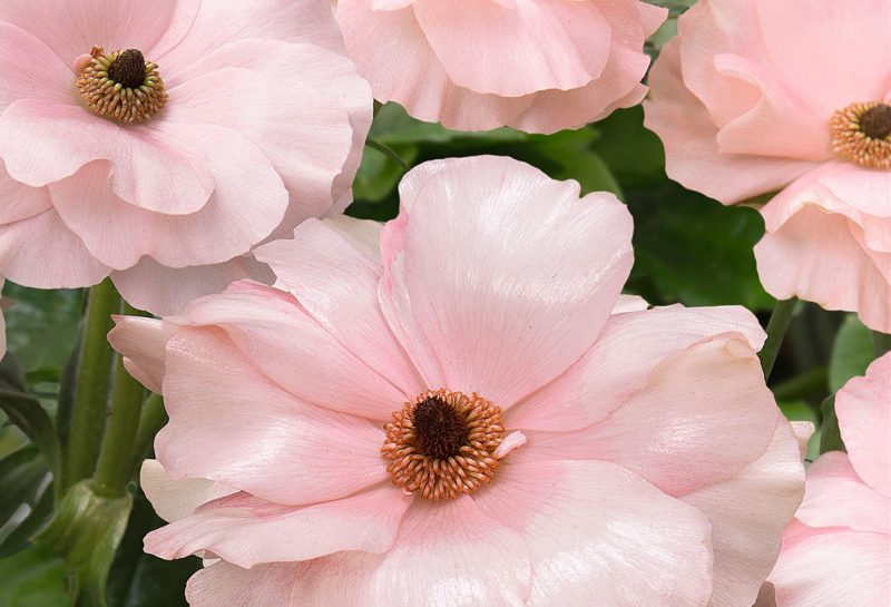 butterfly ranunculus bloom, pale pink shiny