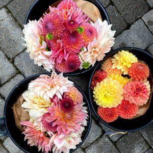 all dahlia CSA flower share, The Petaled Garden, buckets of farm fresh flowers