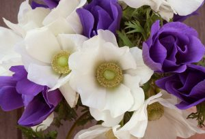 anemone flowers, purple and white, spring farm flowers, The Petaled Garden