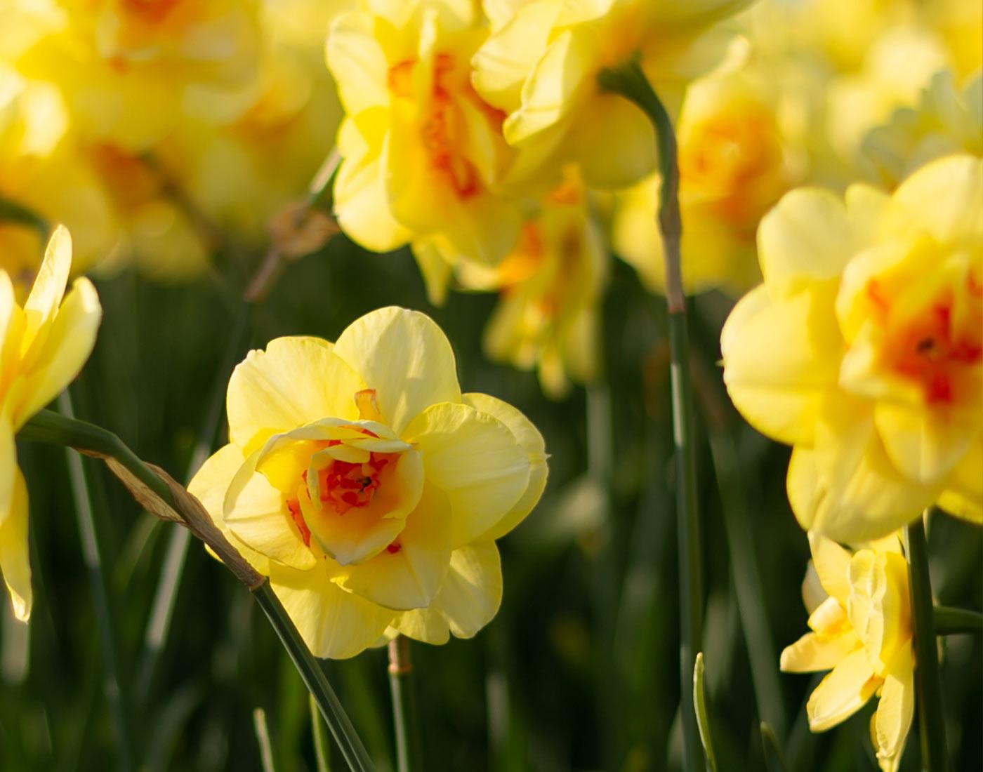 narcissus, fragrant flowers