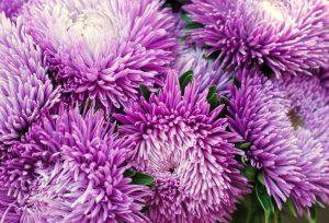 purple aster flowers closeup