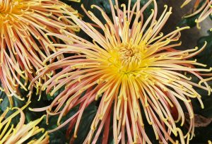 chrysanthemum, heirloom, peach and yellow, spider