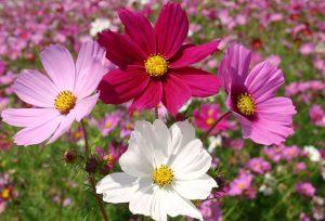 summer cosmos flowers in field