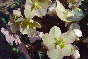 spring hellebores flowers in bloom