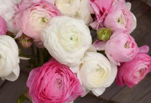 ranunculus flowers, pink and white, spring blooms, The Petaled Garden
