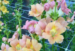snapdragon flowers growing in the field, The Petaled Garden flowers