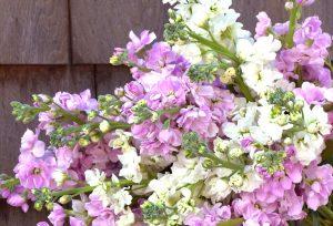 stock flowers, spring flowers, farm flowers
