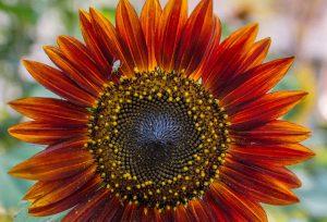 brilliant orange red sunflower, the Petaled Garden