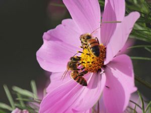 cosmos with bee, flower and bee, sustainable flowers, pollenating flower