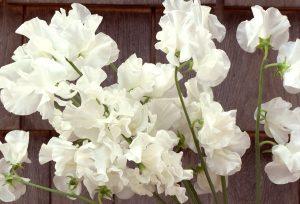 sweetpea flower, spring farm flowers, The Petaled Garden