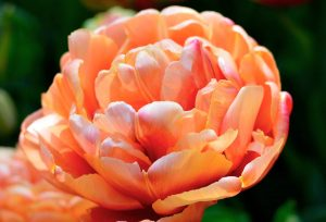 exotic tulip varietal, copperimage color, peach large tulip bloom
