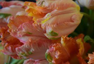 tulip, parrot, colorful